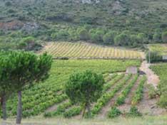 Maury Vineyards